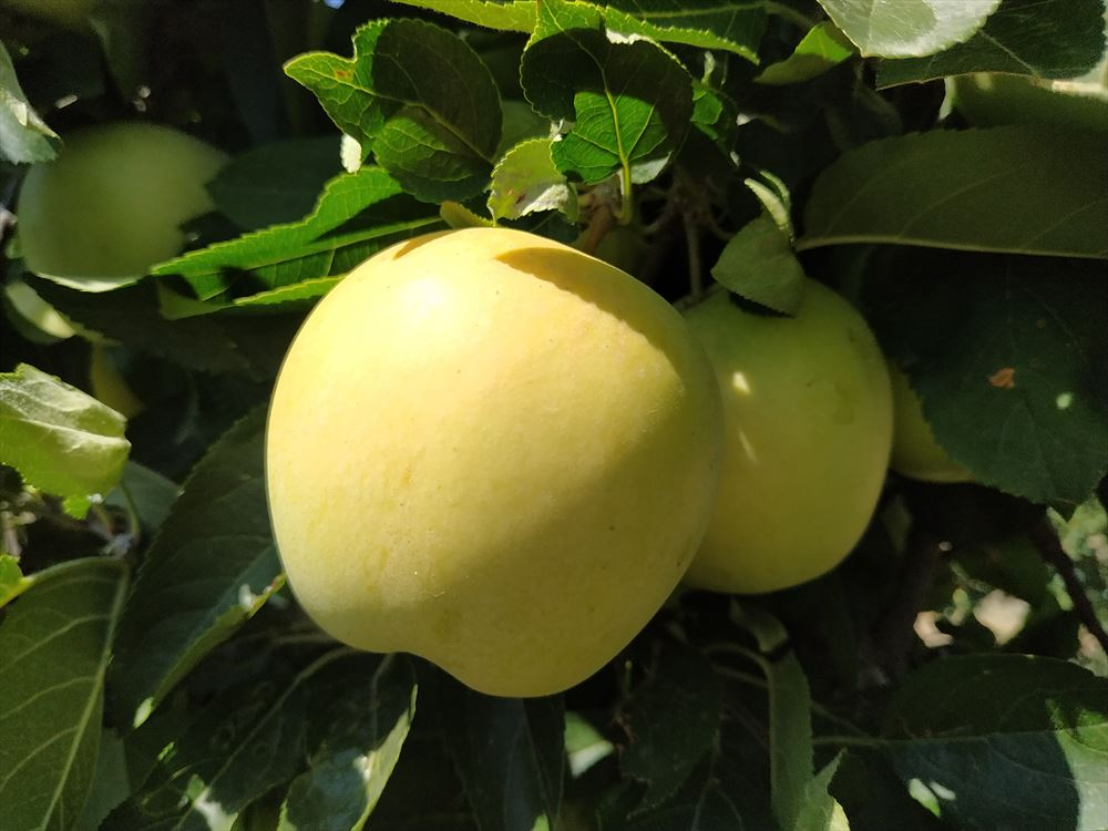 Manzana Golden Primera